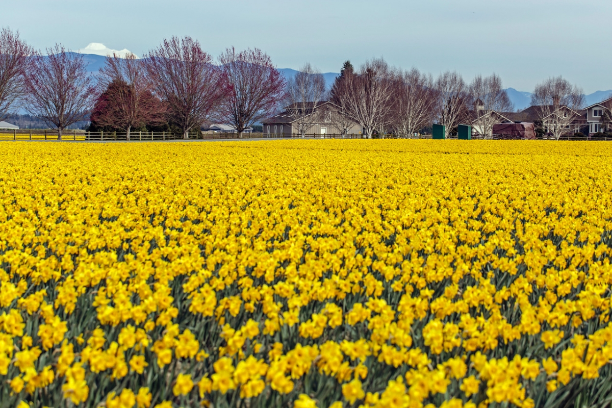 Photo of a field of yellow tulips - taken by Elston Hill