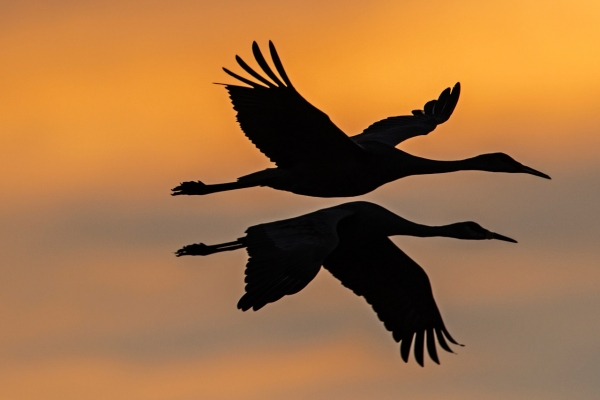 Two geese flying in the sunset