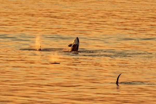 Orcas surfacing at sunset