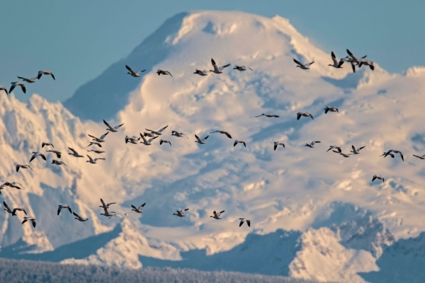 Snowy Mountain with birds flying by